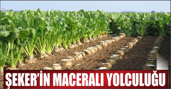 ŞEKER TARLADAN SOFRAYA NASIL GELİYOR